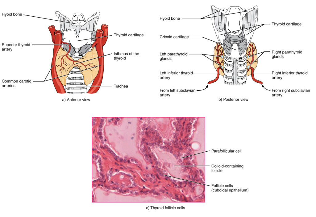 The Thyroid Gland | Anatomy and Physiology
