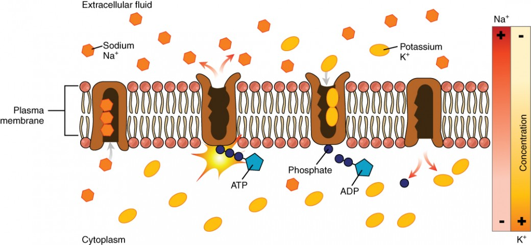 This diagram shows a sodium potassium pump embedded in the cell membrane. In the first step, the pump is opened to the cytosol and closed to the extracellular fluid. First, three sodium ions move into the pump from the cytosol. An ATP molecule binds to the cytosol side of the pump, causing the pump to change shape and open to the extracellular fluid. The pump is now closed to the cytosol. The sodium ions are then released into the extracellular fluid, after which two potassium ions enter the pump. Also at this point, the used ADP detaches from the cytosol side of the pump, leaving a single phosphate attached. The pump then changes shape again so that it closes to the extracellular fluid and again opens to the cytosol. This releases the two potassium ions into the cytosol. The single phosphate also detaches from the pump at this point so that the cycle can start anew. Two bars along the right hand side of the figure indicate that sodium normally diffuses into the cell down its concentration gradient while potassium usually diffuses out of the cell down its concentration gradient. Therefore, the sodium potassium pump is working against these natural concentration gradients.