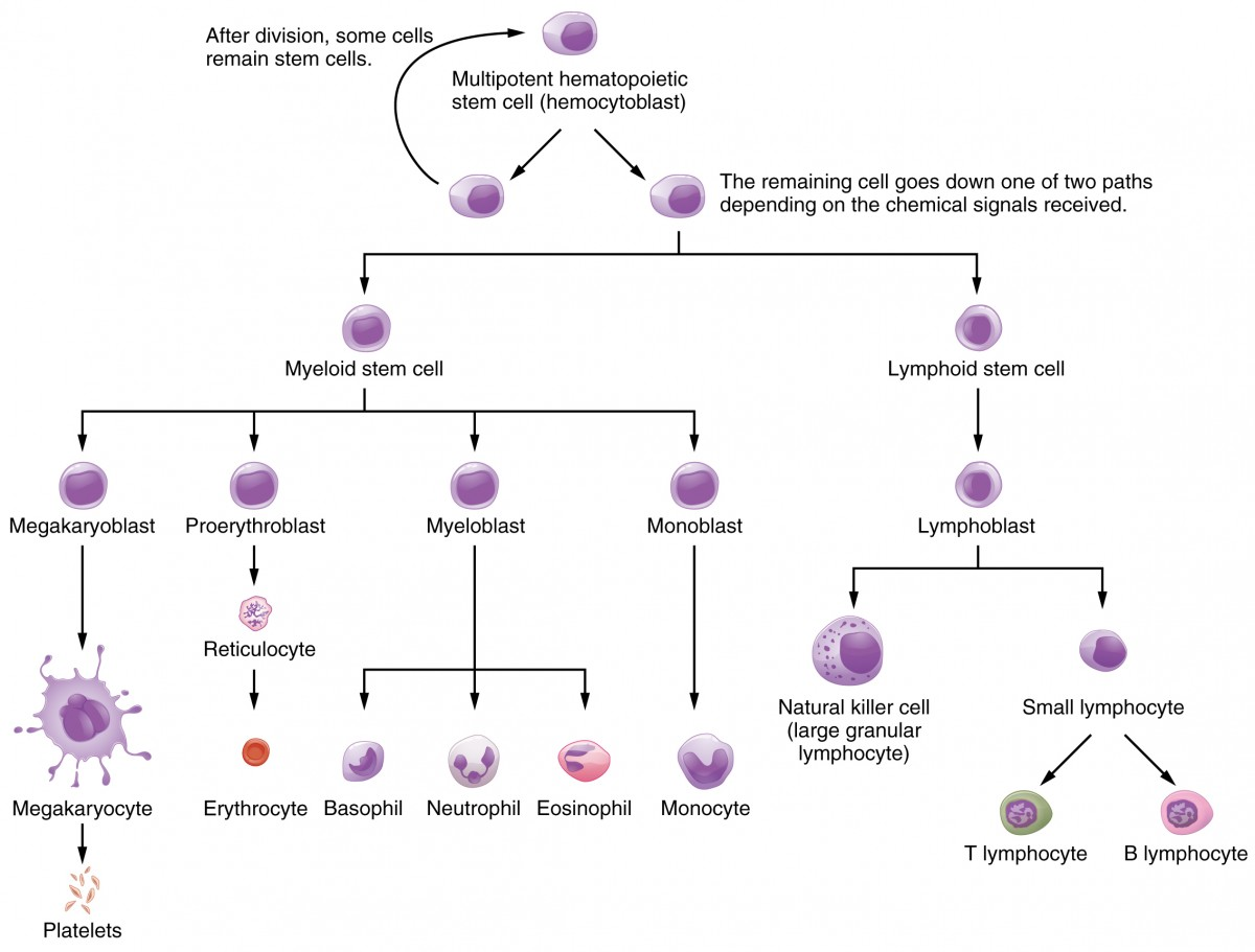 This flowchart shows the pathways in which a multipotent hemotopoietic stem cell differentiates into the different cell types found in blood.
