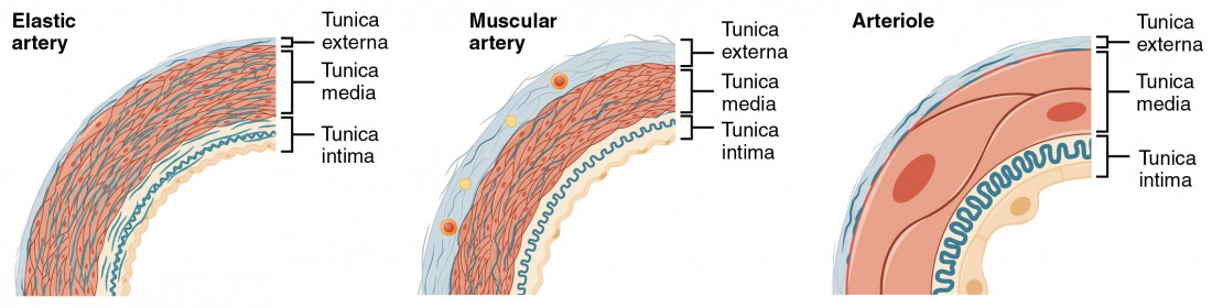 The left panel shows the cross-section of an elastic artery, the middle panel shows the cross section of a muscular artery, and the right panel shows the cross-section of an arteriole.