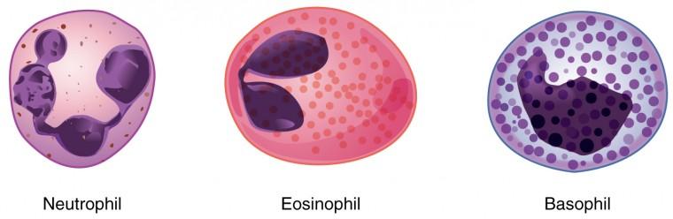 The left image shows a neutrophil, the middle image shows an eosinophil, and the right image shows a basophil.