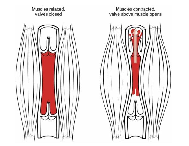 Image of skeletal muscle pump.