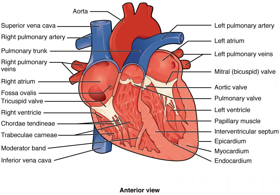 Heart anatomy anatomy and physiology in this figure the top panel shows the image of the heart with the major parts ccuart Image collections