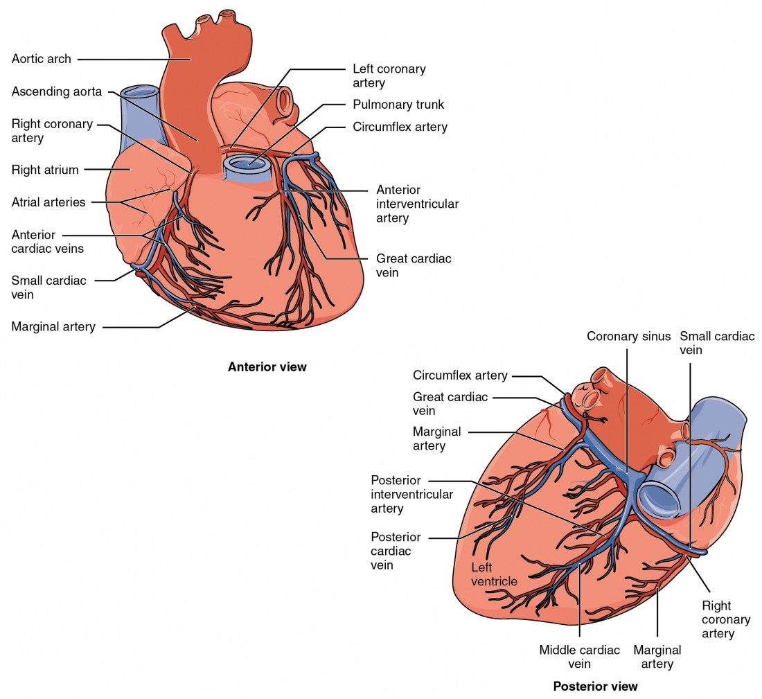 Heart Anatomy | Anatomy and Physiology