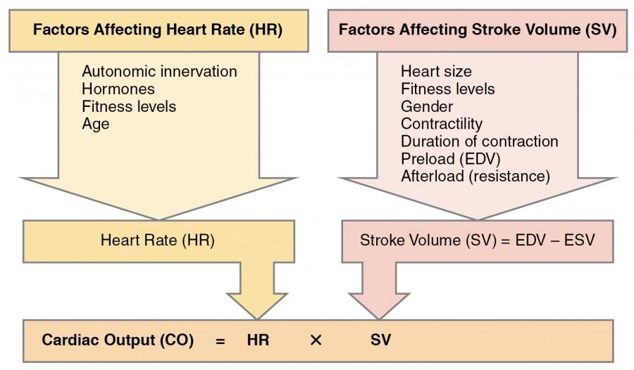 Cardiac Physiology | Anatomy and Physiology