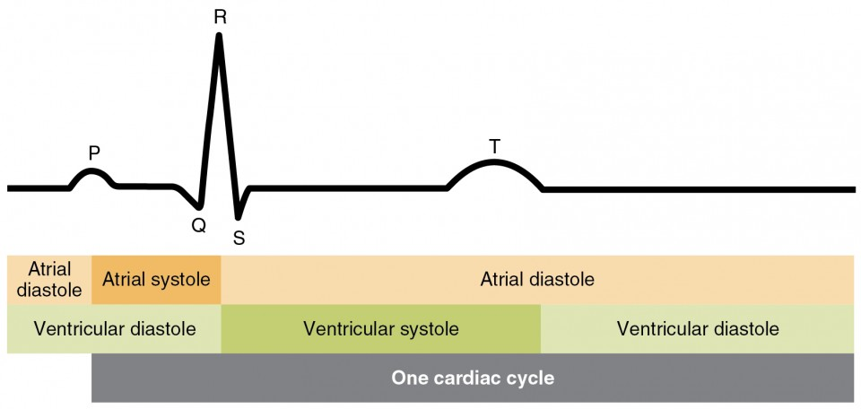 This image shows the correlation between the cardiac cycle and the different stages in a electrocardiogram.