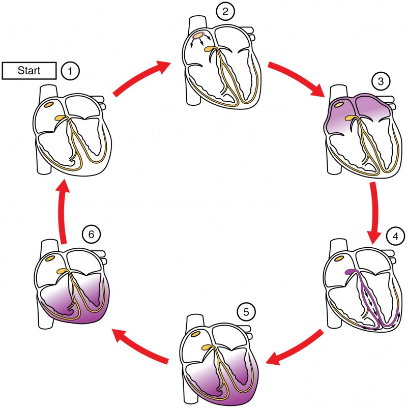 This image shows the different stages in the conduction cycle of the heart.