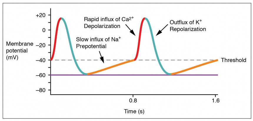 This graph shows the change in membrane potential as a function of time.