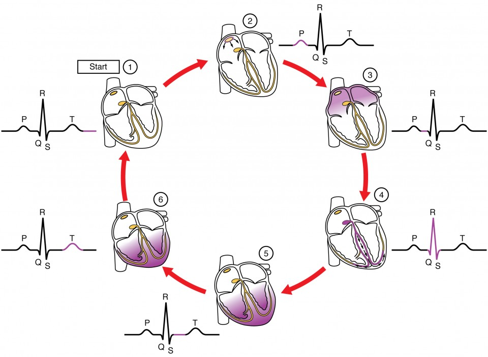 This diagram shows the different stages of heart contraction and relaxation along with the stages in the QT cycle.