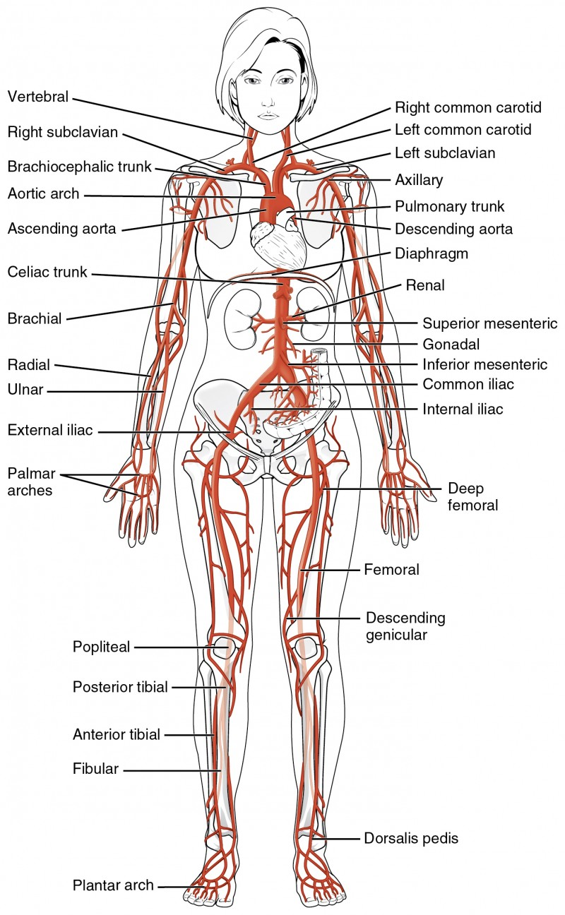 Circulatory Pathways | Anatomy and Physiology