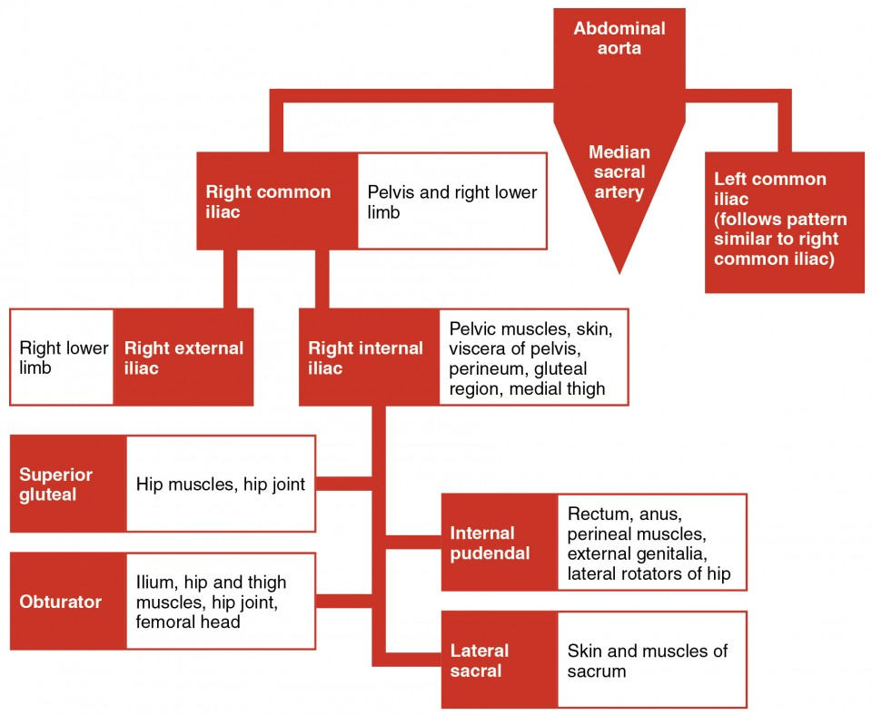 This flowchart shows the different branches into which that the abdominal aorta is divided.