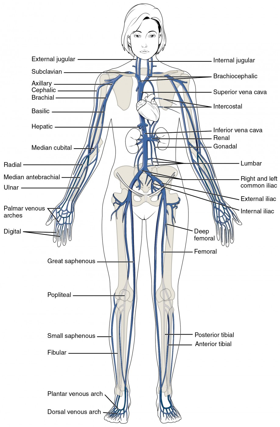 This diagram shows the major veins in the human body.