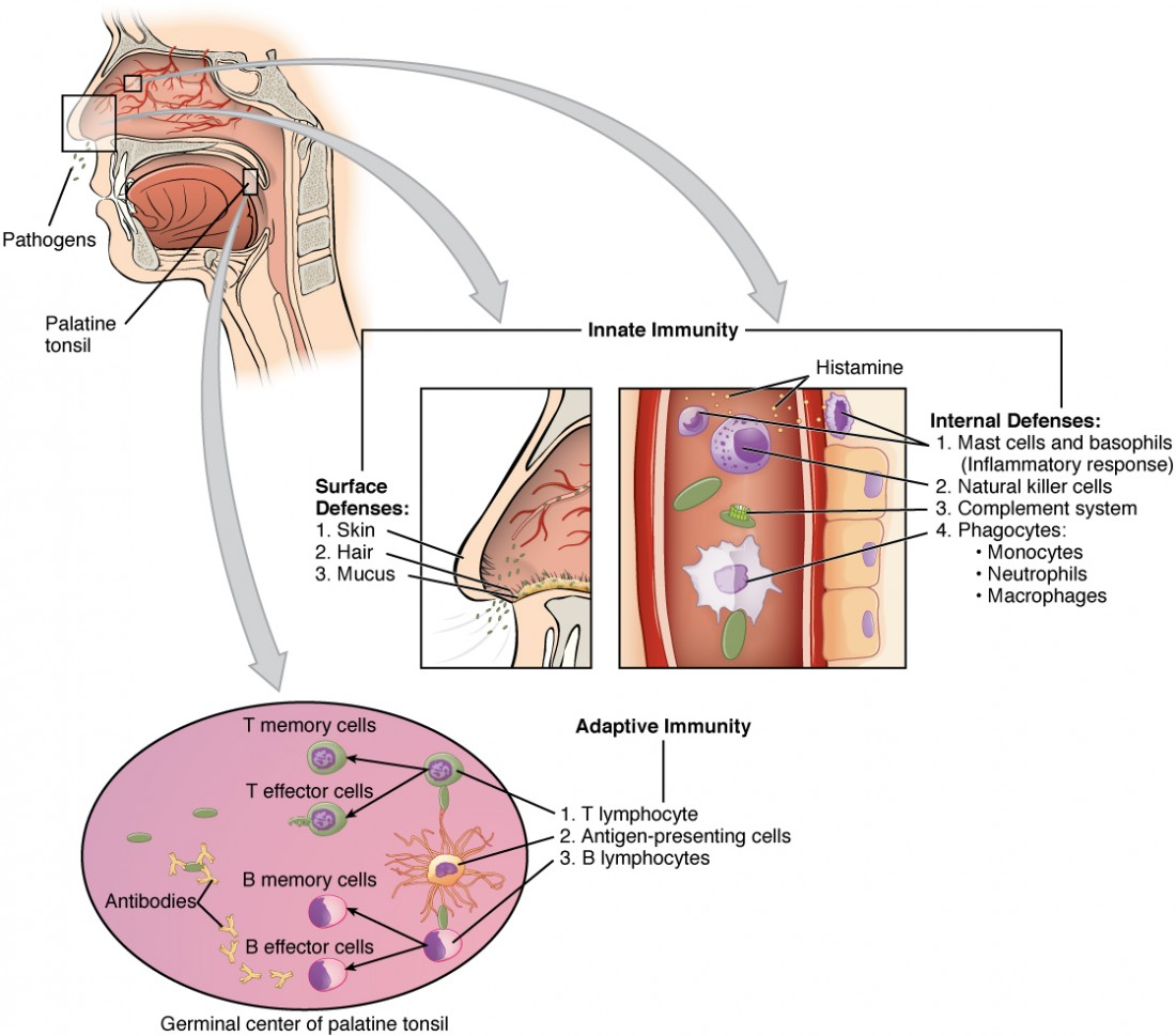 This figure shows a lateral view of a human face in the top left. A magnified callout shows the germinal center of the palatine tonsil. Another magnified view shows how the innate immune system works.