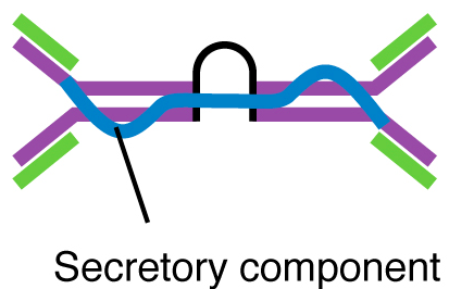 Two Y-shapes bound together by a secretory component