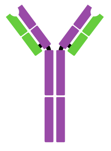 A a single branching Y-shape