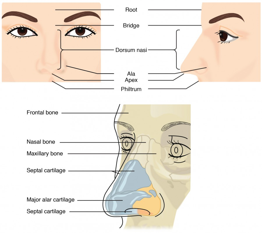 This figure shows the human nose. The top left panel shows the front view, and the top right panel shows the side view. The bottom panel shows the cartilaginous components of the nose.