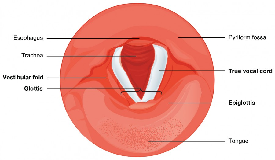 This diagram shows the cross section of the larynx. The different types of cartilages are labeled.