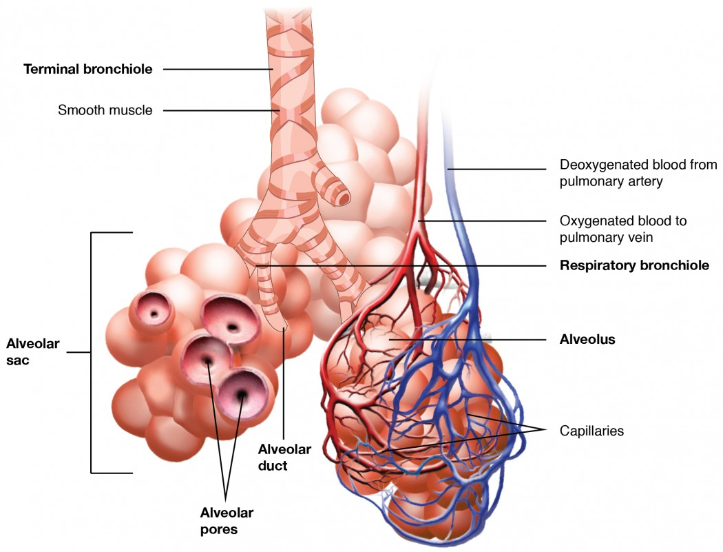 Organs And Structures Of The Respiratory System Anatomy