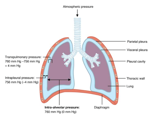 Intrapulmonary and Intrapleural Pressure Relationships.