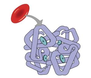 Erythrocyte and Hemoglobin