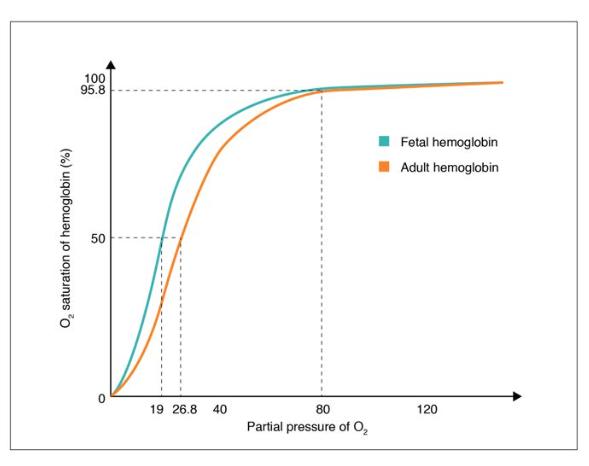 Oxygen-Hemoglobin Dissociation Curves in Fetus and Adult