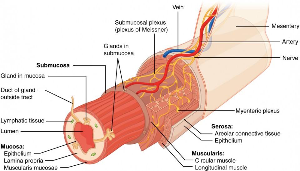 この画像は消化管の断面図です。 消化管の各層は同心円状に表示されており、主要な筋肉や静脈が表示されています。