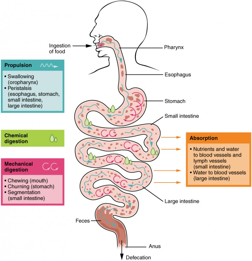 This image shows the different processes involved in digestion. The image shows how food travels from the mouth through the major organs. Associated textboxes list the different processes such as propulsion, chemical and mechanical digestion and absorption near the organs where they take place.