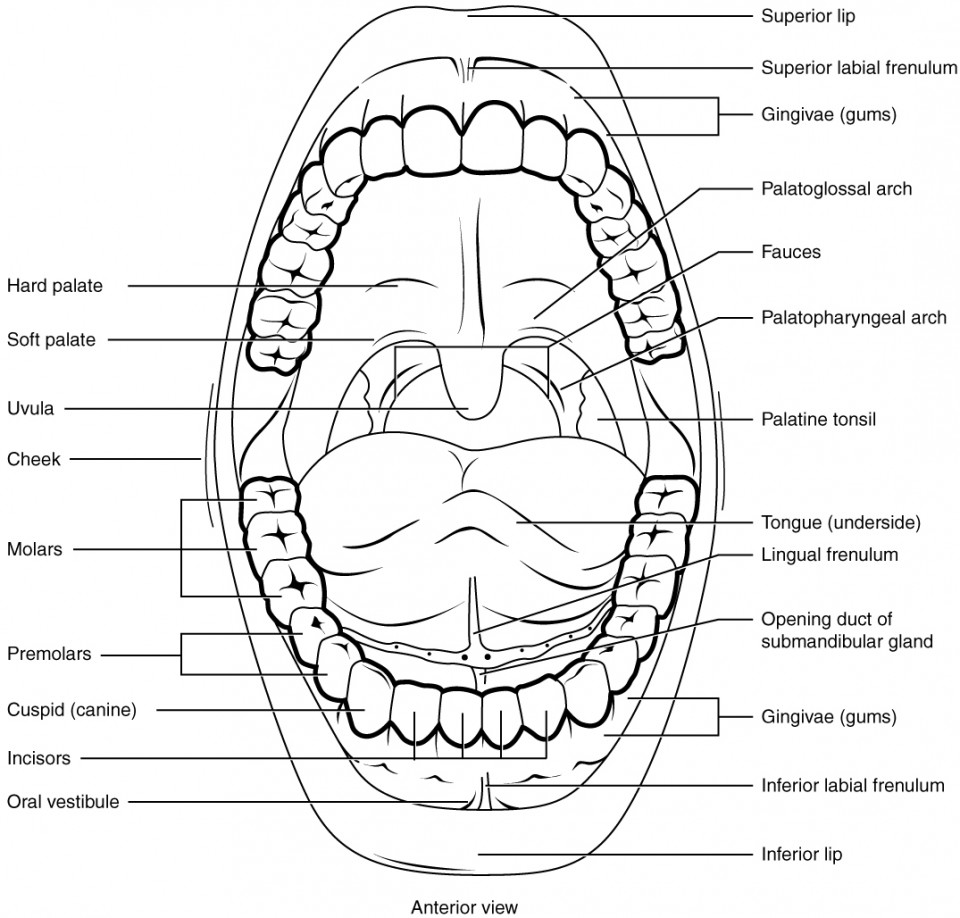 The Mouth, Pharynx, and Esophagus | Anatomy and Physiology