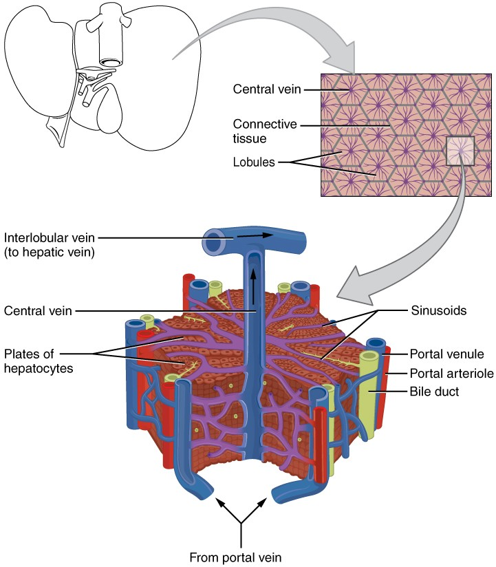 This image shows the microscopic anatomy of the liver. The top panel shows the liver; the center panel shows a magnified view of the connective tissue and the lobules. The bottom panel shows a further magnified view of a lobule, identifying the veins, bile duct and the sinusoids.