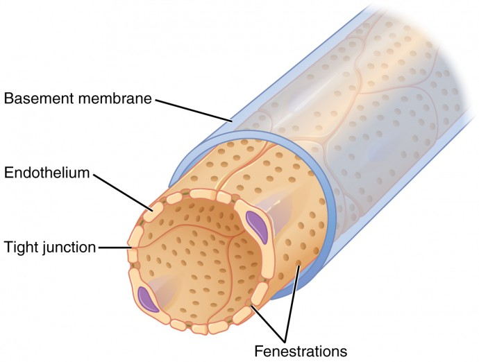 The top panel of this figure shows a tube-like structure with the basement membrane and other parts labeled.