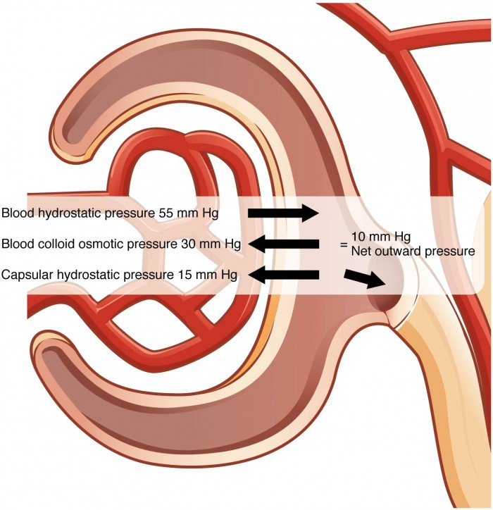 This figure shows the different pressures acting across the glomerulus.