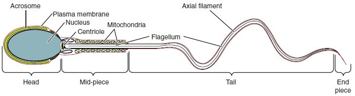 This diagram shows the structure of sperm; the major parts are labeled.
