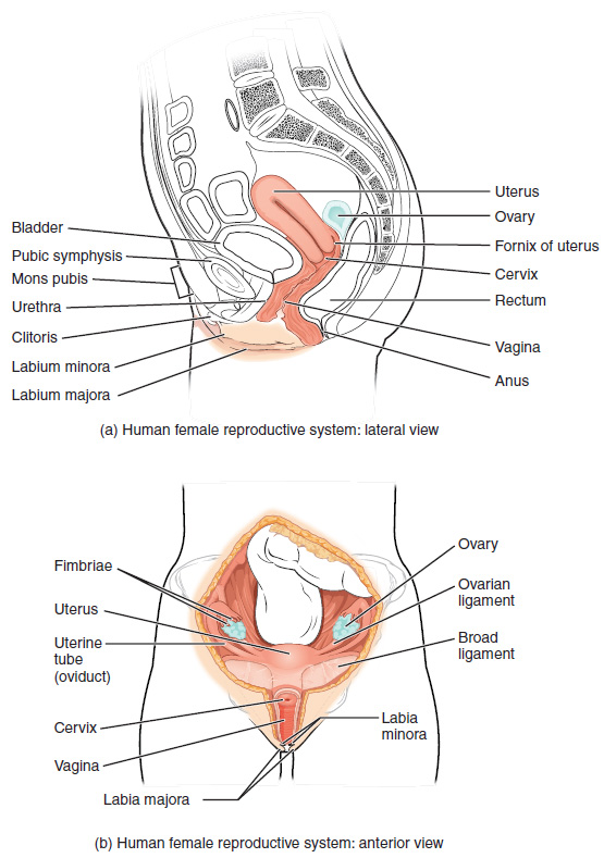 Anatomy And Physiology Of The Female Reproductive System Anatomy