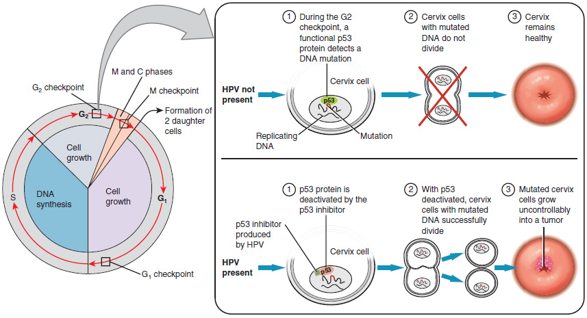The left panel shows cell cycle. An arrow from the G2 phase leads to the right panel. The top half of the right panel describes the next steps in the absence of HPV and the bottom half describes the next steps in the presence of HPV.