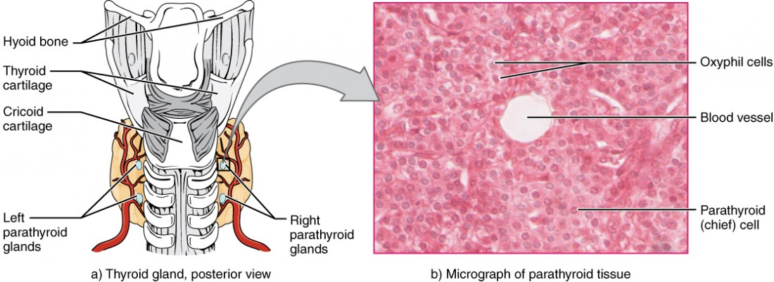 The Parathyroid Glands Anatomy And Physiology I