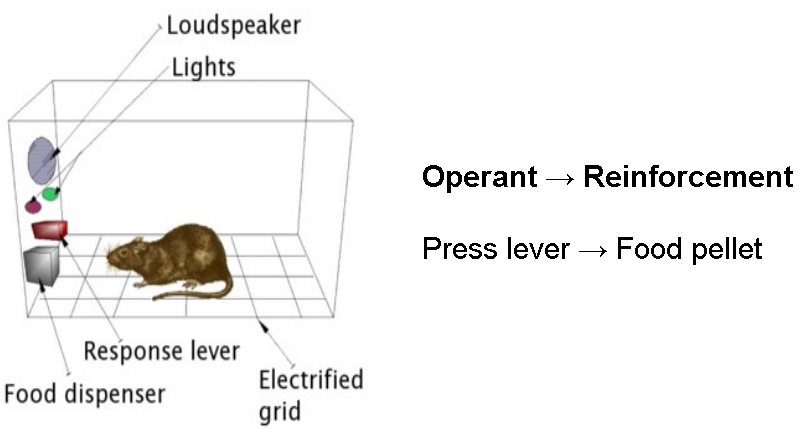 A rat in a cage. The cage has a loudspeaker, lights, a response lever, a food dispenser. The floor is also an electrified grid. The Operant is pressing the lever, which leads to the reinforcement a food pellet.
