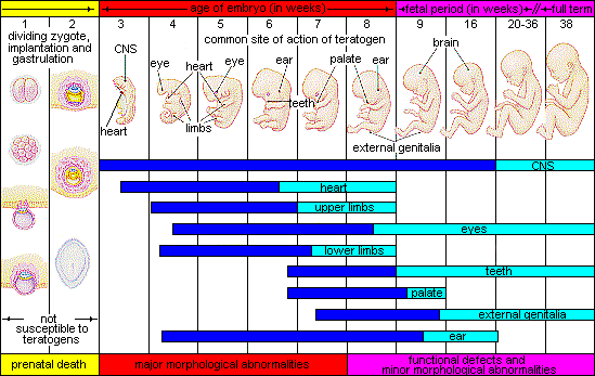 Chart showing stages of prenatal development, beginning with the dividing zygote and implantation within the first two weeks, then the CNS and heart formation in week 3, then eyes, the heart, limbs, and ears between weeks 3 and 8, then genitals and increase brain development after week 9.