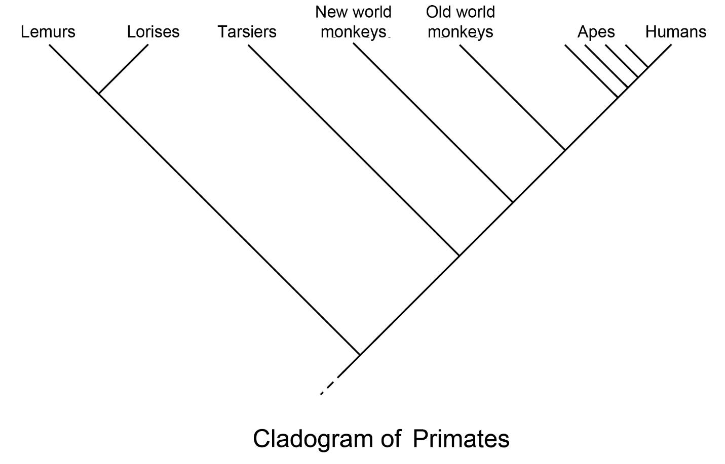 2 Primate Classification The History Of Our Tribe Hominini