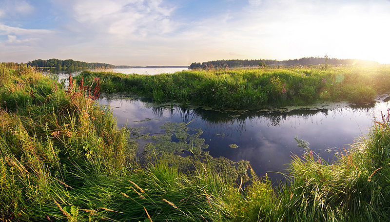 Wetlands near the Moscow region, Russia. Bodies of water surrounded by green foliage and with green algea on top of the water.