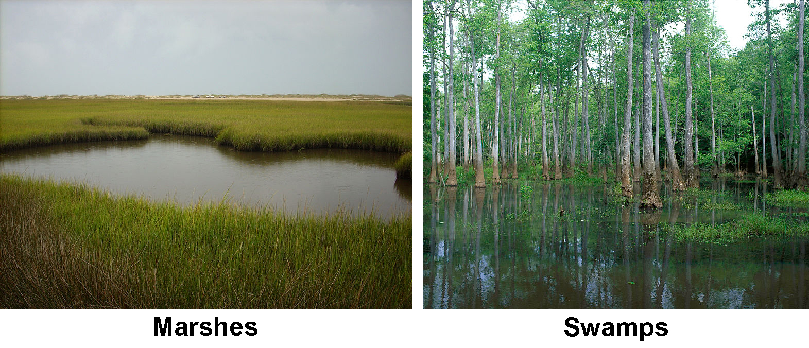 Marshes and swamps are both types of wetlands. A marsh has low shrubs and grasses while a swamp has trees as well.