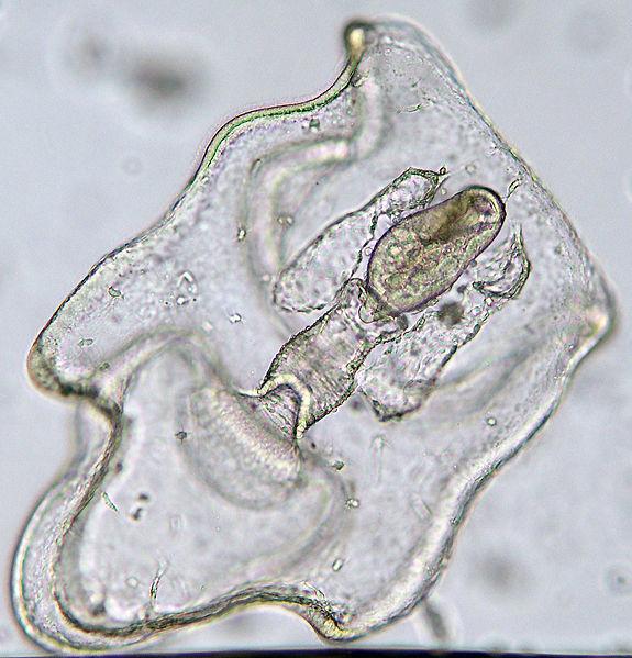A microscopic translucent organism