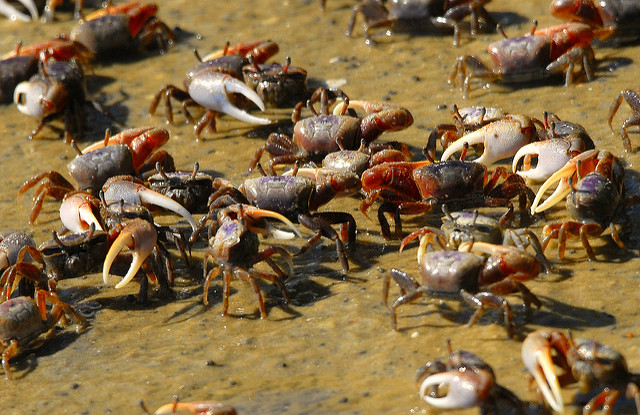 Several fiddler crabs gathered together on the beach