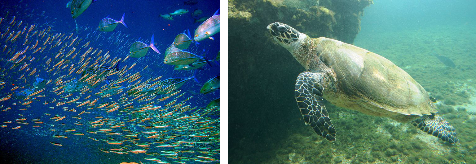 A two-part image. The first part depicts a school of fish. The second depicts a sea turtle.