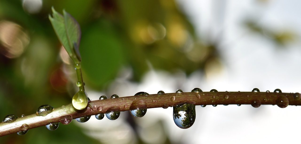 Drops of dew collected on a tree branch