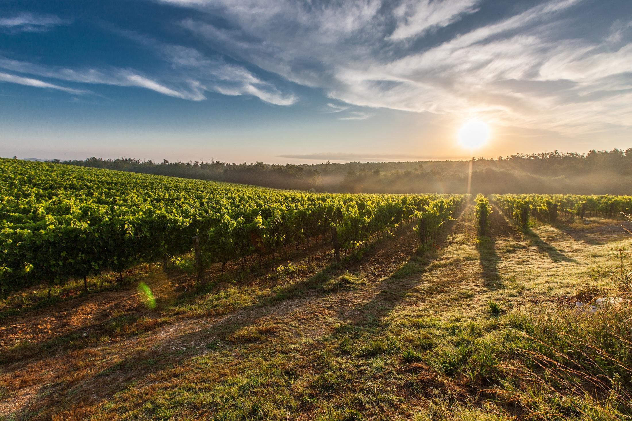 A grape field.