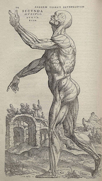 An illustration of the human body from De humani corporis fabrica.