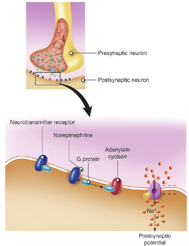 suboxone neuron and post synaptic potentials Action potentials are conduction of electrical impulses in the nervous system and spreads along the membrane of the post-synaptic neuron.