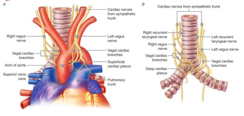 Autonomic Nervous System A P 12