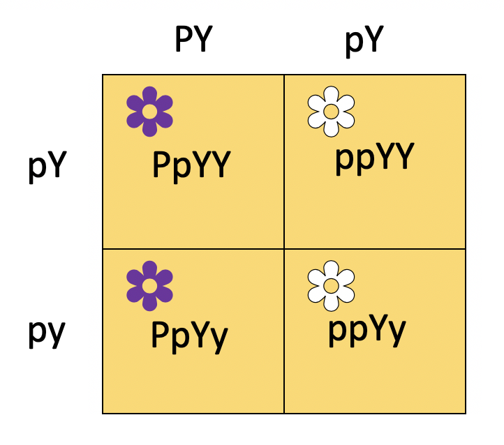 A Punnett square with two columns and two rows. The two columns are labeled PY(both uppercase) and pY(lowercase p and uppercase Y). The two rows are labeled pY(lowercase p and uppercase Y) and py(both lowercase). The top left cell is heterozygous P, homozygous uppercase Y, and a purple flower. The top right cell is homozygous lowercase p, homozygous uppercase Y, and a white flower. The bottom left cell is heterozygous P, heterozygous Y, and a purple flower. The bottom right cell is homozygous lowercase p, heterozygous Y, and a white flower.  The entire table is colored yellow.