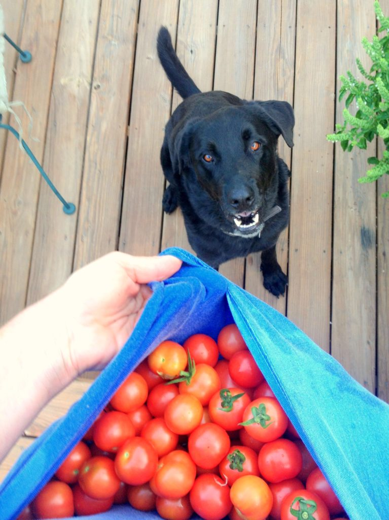 A black lab dog looking up hungrily at a pouch full of cherry tomatoes